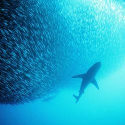tubaroes_e-sardinhas